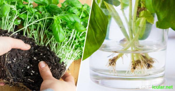 Supermarkt-Basilikum überlebt meist nicht lange - mit diesen Tricks kannst du ihn unendlich vermehren und eine einzige Pflanze quasi ewig weiter verwenden.