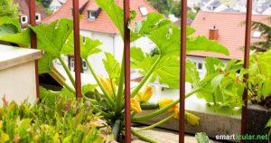 Zucchini wachsen nicht nur im Garten, sondern sogar auf dem Balkon. Für eine reiche Ernte brauchst du nur einen Kübel und reichlich Sonne.