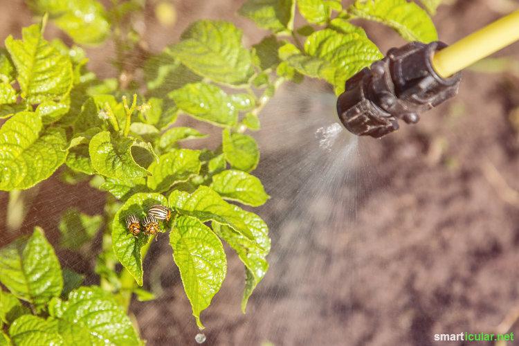 Viele ätherische Öle verfügen über eine antibakterielle, fungizide und insektenabwehrende Wirkung. Mit einem selbst gemachten Pflanzenspray kannst du dir ihre natürliche Schutzwirkung im Garten zu Nutze machen.