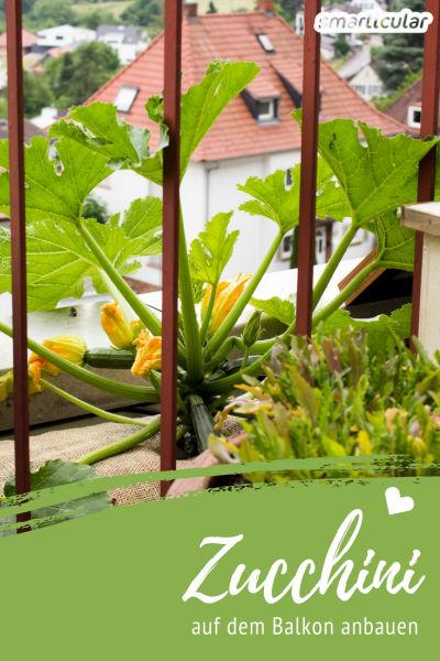 anleitung zucchini im topf k bel anbauen pflegen und ernten. Black Bedroom Furniture Sets. Home Design Ideas
