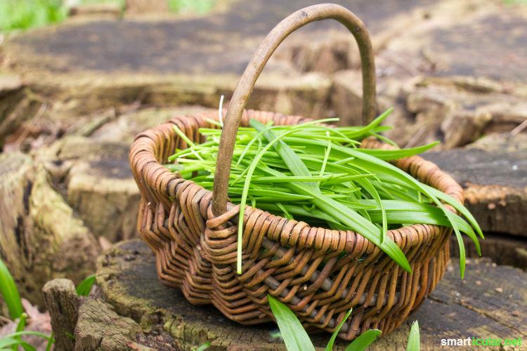 Der aromatische Wunderlauch besitzt eine ganze Reihe heilkräftiger Eigenschaften. Wie du ihn für das ganze Jahr konservieren kannst, erfährst du hier.