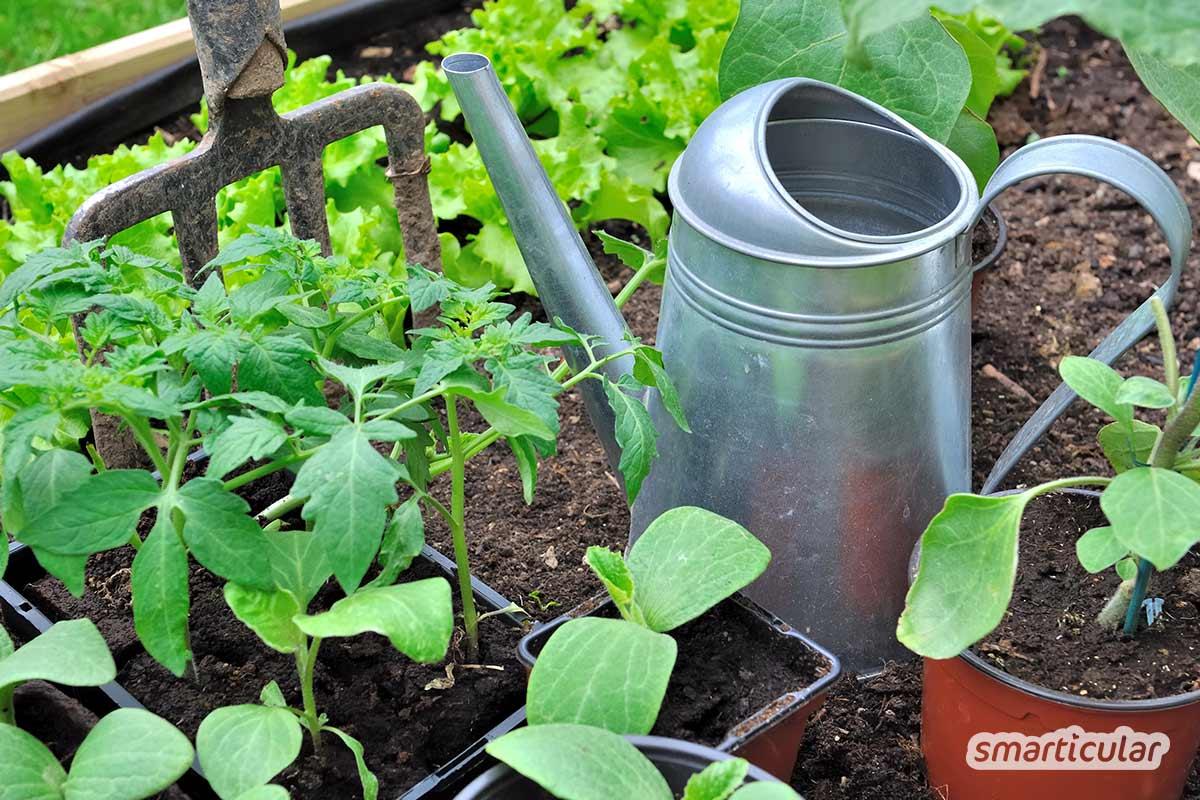 Zucchini im Topf anzupflanzen ist ganz einfach. Für eine reiche Ernte brauchst du gar keinen eigenen Garten, du kannst sogar Zucchini auf dem Balkon ziehen.