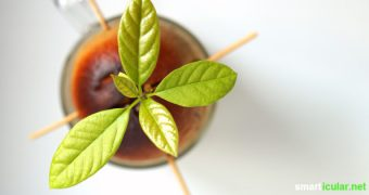Aus einem Avocadokern lässt sich eine hübsche Zimmerpflanze ziehen. Wie das geht, kannst du in dieser Anleitung lesen.