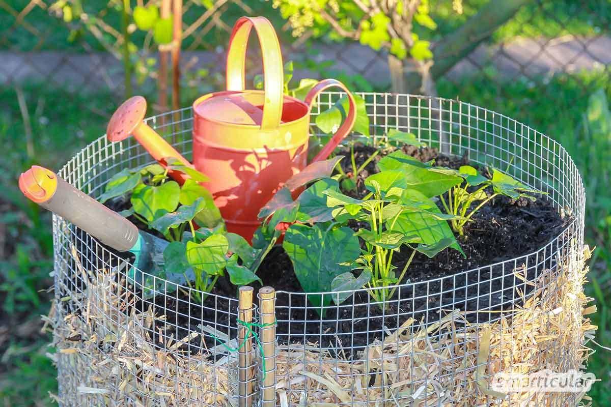 Wer nur einen kleinen Garten hat und trotzdem viele Kartoffeln ernten möchte, kann sich einfach und preiswert einen Kartoffelturm bauen.