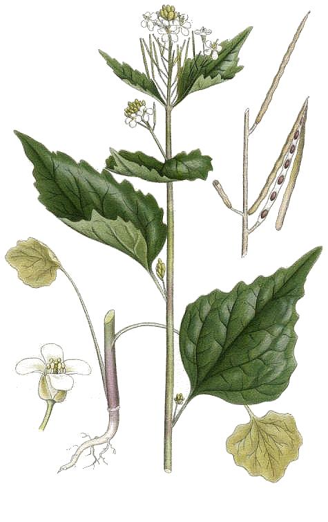 Die Knoblauchsrauke ist ein besonders würziges Wildkraut und bringt neuen Schwung in altbekannte Rezepte - zum Beispiel in Senfsauce und Guacamole!
