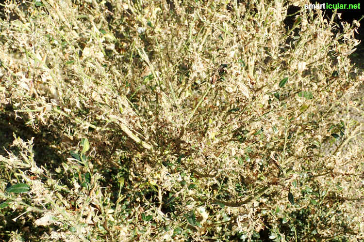 Statt den Buchsbaumzünsler mit der Chemiekeule zu bekämpfen, um den Buchsbaum zu retten, sind natürliche Mittel ebenso wirksam - und zudem viel umweltschonender und bienenfreundlicher.