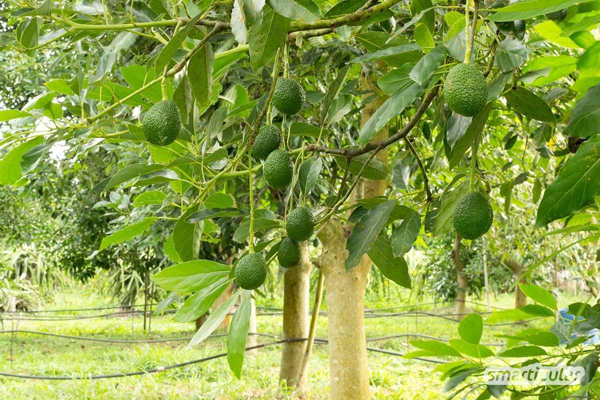 Der hohe Wasserverbrauch, abgeholzte Wälder und lange Transportwege haben die Avocado in Verruf gebracht. Warum diese negative Sicht zu einseitig ist, erfährst du hier!