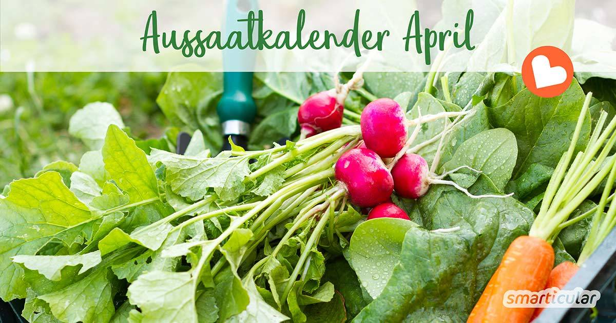 Im April können zahlreiche Gemüse, Kräuter und Blumen für die warme Saison vorgezogen werden. Einige robuste Sorten dürfen direkt ins Freiland.