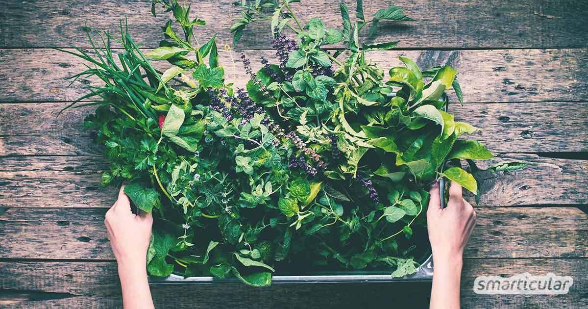 Viele Kräuter gedeihen bestens auch im Schatten und Halbschatten. Welche das sind, erfährst du in diesem Beitrag – inklusive Tipps zu Standortwahl und Pflege.