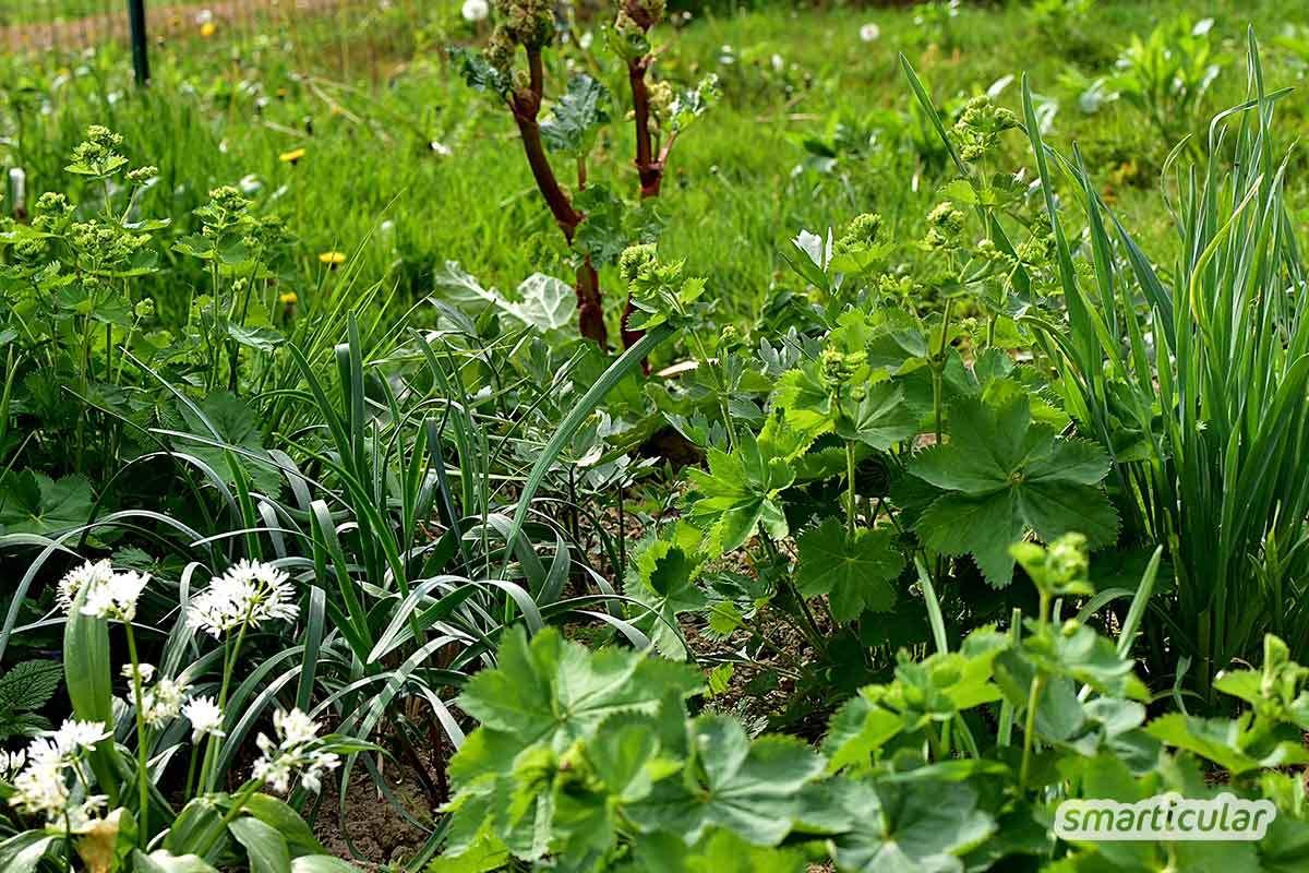 Essbare Pflanzen Die Im Schatten Wachsen Anbautipps Für Garten
