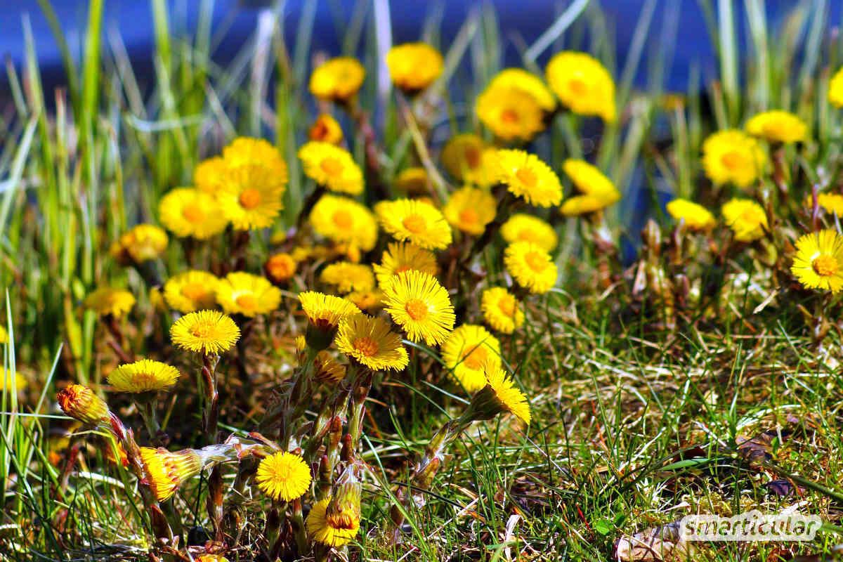 Diese Kräuter eignen sich für selbst gemachten Erkältungstee – du kannst sie schon im Frühling sammeln, dann hast du einen Vorrat für den Winter.