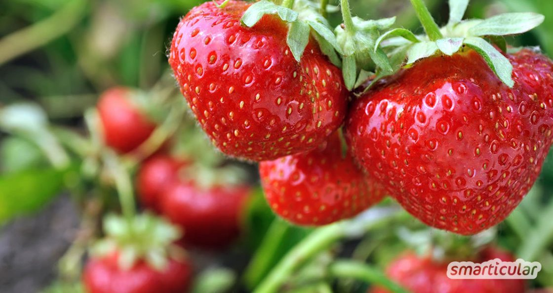 Wer mit dem Gärtnern beginnt, kann mit besonders pflegeleichten Sorten schnell Erfolge erzielen. Hier findest du anspruchslose Gemüse, Kräuter und Blumen, die auch bei Gartenanfängern gedeihen.