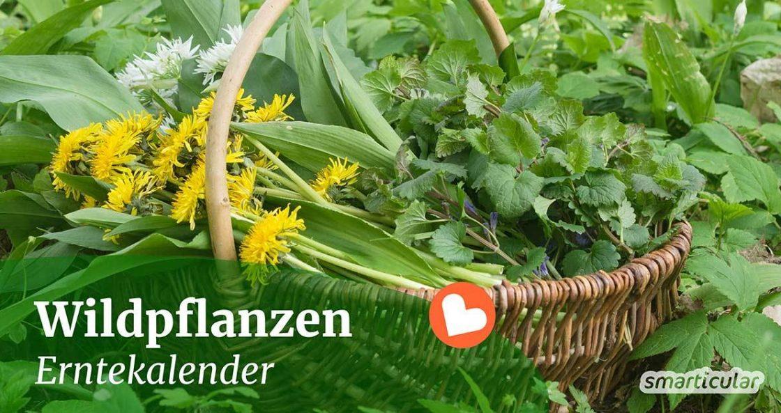 Zahlreiche Wildkräuter können über das Jahr gesammelt und vielseitig verwendet werden. Hier findest du einen ganzjährigen Erntekalender für Wildpflanzen.