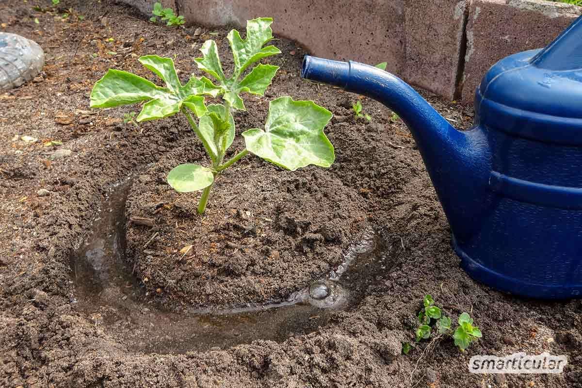 Richtig zu gießen ist gerade in den heißen Sommermonaten wichtig, damit Blüh- und Nutzpflanzen gut wachsen. Diese einfachren Regeln sparen Zeit und Wasser und sorgen für gesunde Pflanzen.