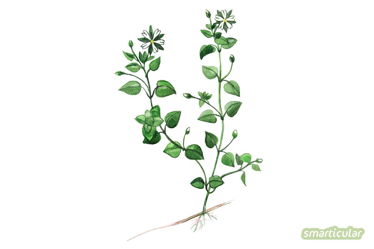 Die Vogelmiere breitet sich zum Ärgernis vieler Gärtner gern großflächig aus. Das vitalstoffreiche Wildkraut kann zu Salat, Pesto und mehr verarbeitet werden, statt es zu bekämpfen.