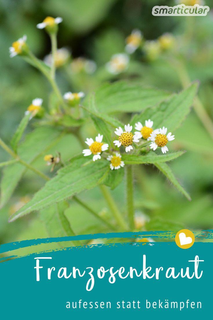 Das Franzosenkraut, auch kleinblütiges Knopfkraut genannt, wuchert in vielen Gärten. Wer es findet, sollte unbedingt zugreifen und das vitalstoffreiche Kraut zu Smoothie, Pesto und mehr verarbeiten.