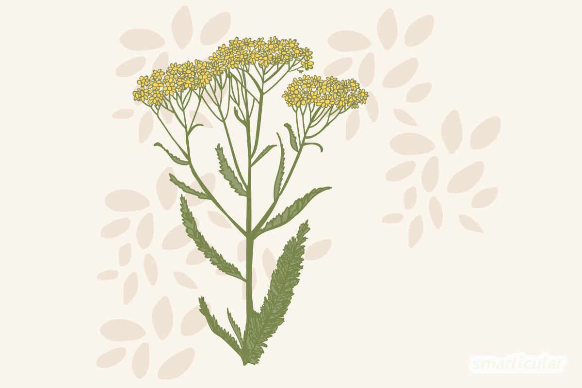 Die Schafgarbe ist eine reiche Quelle gesunder Inhaltsstoffe für innere und äußere Anwendungen. In Kosmetik und als Tee wirkt die Schafgarbe durchblutungsfördernd, entzündungshemmend und krampflösend.