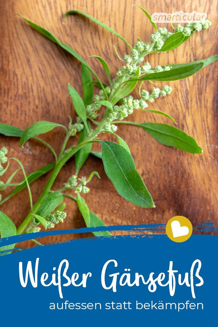 """Der Weiße Gänsefuß ist so weit verbreitet, das man ihn in nahezu jedem Garten findet. Mit den folgenden Tipps und Rezepten wird aus dem vermeintlichen """"Unkraut"""" eine gesunde Küchenzutat."""