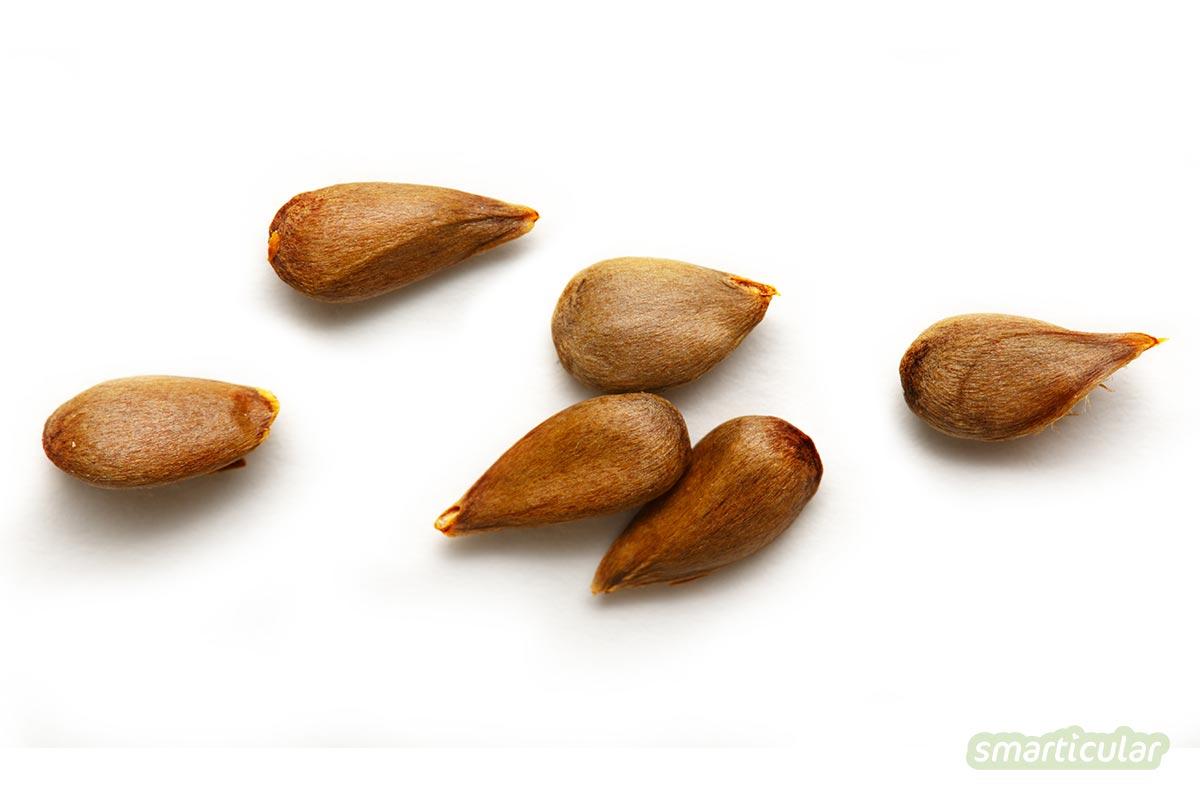 Apfelkerne und das Kerngehäuse werden oft nicht mitgegessen. Dabei ist nicht nur ein Apfel gesund, sondern vor allem das Apfelkerngehäuse!