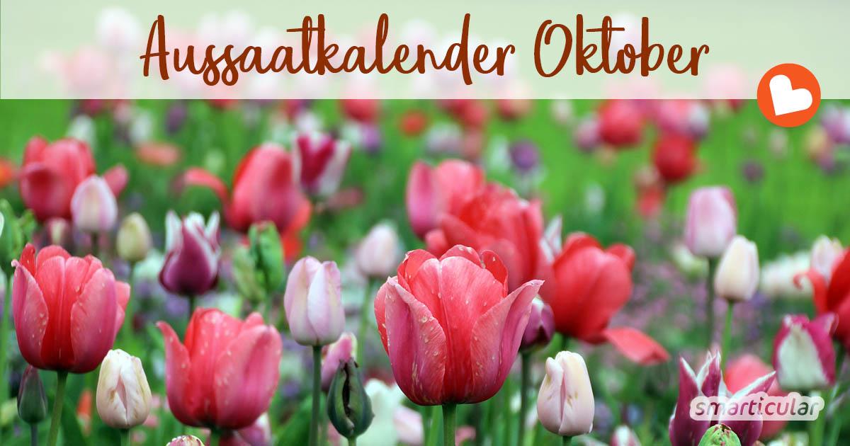 Im Oktober ist vor allem Erntezeit, aber auch der Aussaatkalender hat noch einiges zu bieten. Um sich im neuen Jahr an Frühblühern zu erfreuen, können jetzt die Blumenzwiebeln gesteckt werden.