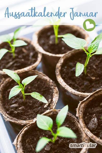 Im Januar geht es zwar immer noch ruhig zu im Gemüsegarten. Einige Pflanzen können aber bereits vorgezogen werden. Und wer es bisher versäumt hat, kann jetzt noch Blumenzwiebeln stecken.