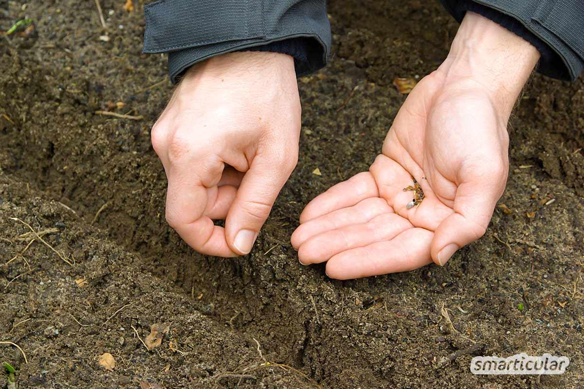 Im März können kälteempfindliche Sorten vorgezogen und robuste Gemüse, Kräuter und Blumen direkt ins Beet gesät werden.