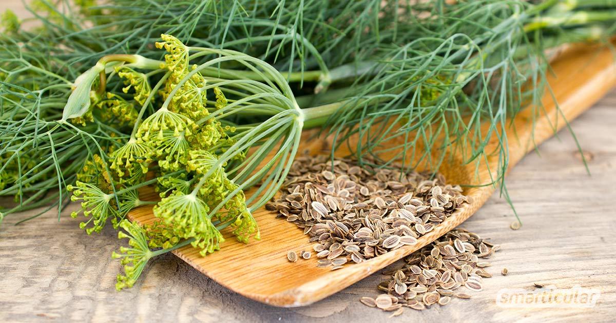 Mit seinem feinen Aroma verleiht der vitalstoffreiche Dill vielen Gerichten das gewisse Etwa und bereichert als entspannendes und verdauungsförderndes Hausmittel die Hausapotheke.