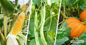 Ein Indianerbeet, das eine dreifache Ernte aus Bohnen, Mais und Kürbis ermöglicht, lässt sich einfach selbst anlegen! Hier erfährst du, wie das ertragreiche, pflegeleichte Mischkultur-Beet gelingt.