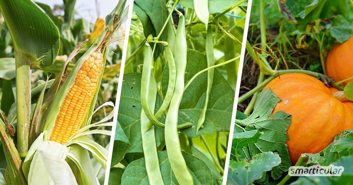 Die Milpa-Mischkultur, die eine dreifache Ernte aus Bohnen, Mais und Kürbis ermöglicht, lässt sich einfach selbst anlegen! Hier erfährst du, wie das ertragreiche, pflegeleichte Beet gelingt.