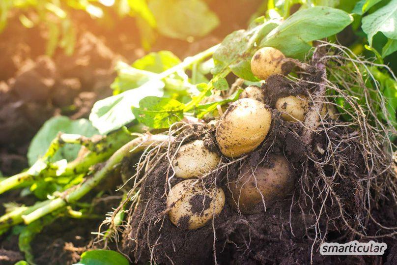 Der Gartenkalender Juni gibt Tipps, welche Arbeiten anstehen. Jetzt können Beeren wie Erdbeeren und Himbeeren sowie Frühkartoffeln geerntet werden.