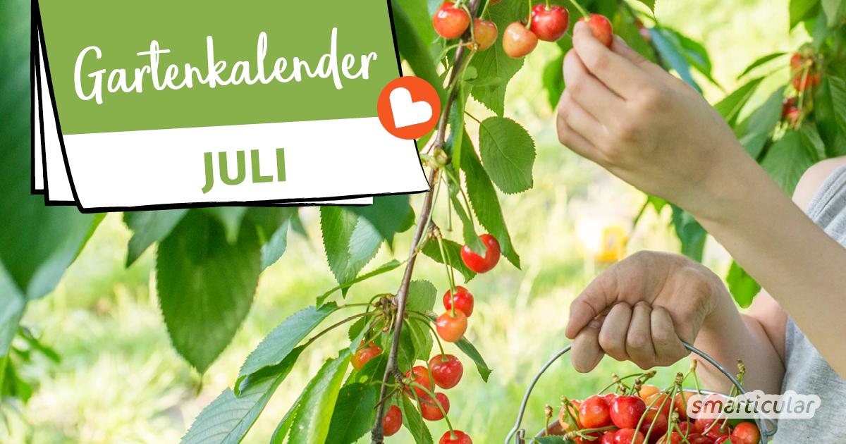 Der Gartenkalender Juli gibt Tipps, welche Arbeiten anstehen. Jetzt kann geerntet und eingemacht werden. Außerdem brauchen die Pflanzen Wasser und Schutz vor Schädlingen.