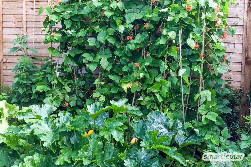 Mit guten Nachbarn im Gemüsebeet lässt sich Platz sparen und mehr ernten. Sie können dicht gepflanzt werden und unterstützen sich gegenseitig im Wachstum.