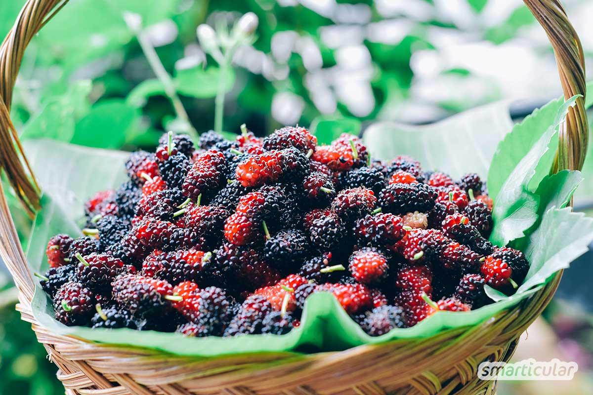 Maulbeeren enthalten viele Antioxidantien, Vitamine, Mineralstoffe und schmecken saftig-süß. Da sie nicht lange aufbewahrt werden können, probiere doch mal, köstliche Marmelade daraus zu kochen!