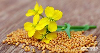 Senfkörner geben nicht nur Gerichten den pikanten Pfiff, sie sind auch äußerst gesund! Im Garten fungiert die Senfpflanze als Gründünger und Bienenfreund.