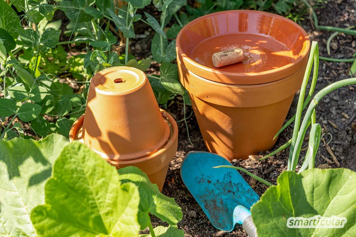 Der Gartenkalender August gibt Tipps, welche Arbeiten anstehen. Jetzt wird gegossen und geerntet. Lücken im Beet werden durch Nachkultur und Gründüngung gefüllt.
