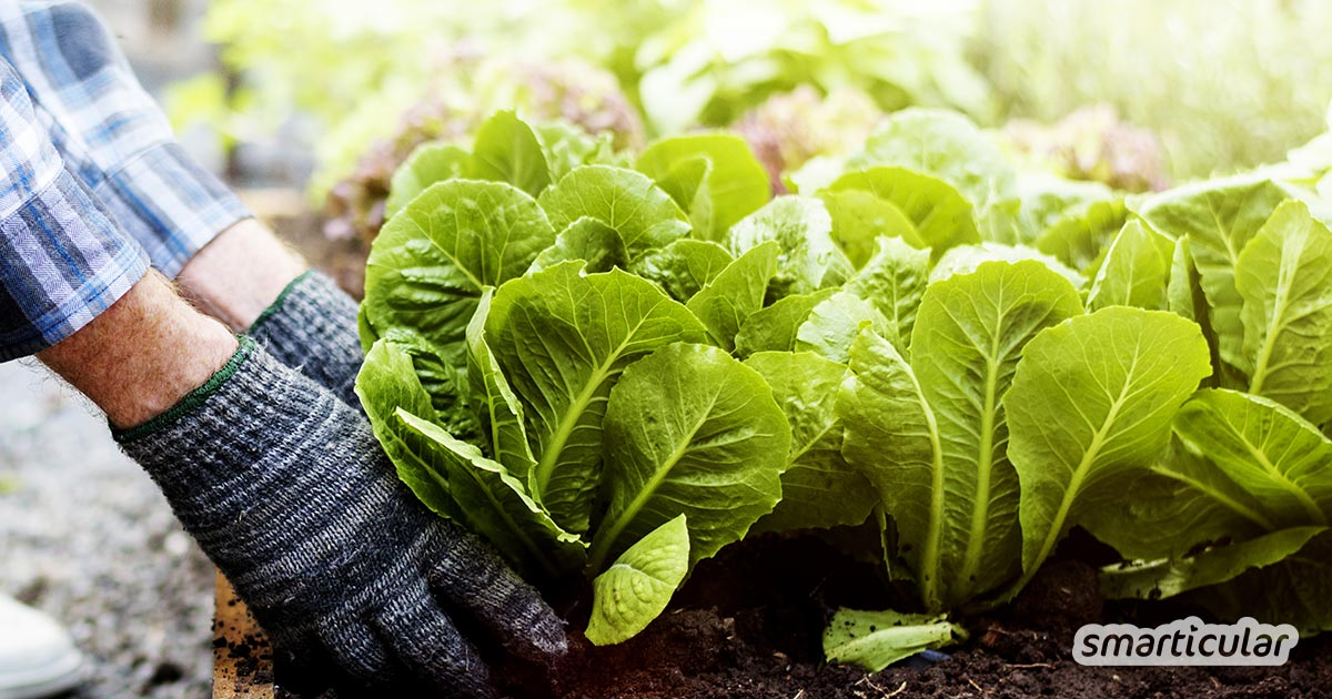 Dieses Gemüse im Sommer und Herbst pflanzen, um auch im Winter zu ernten
