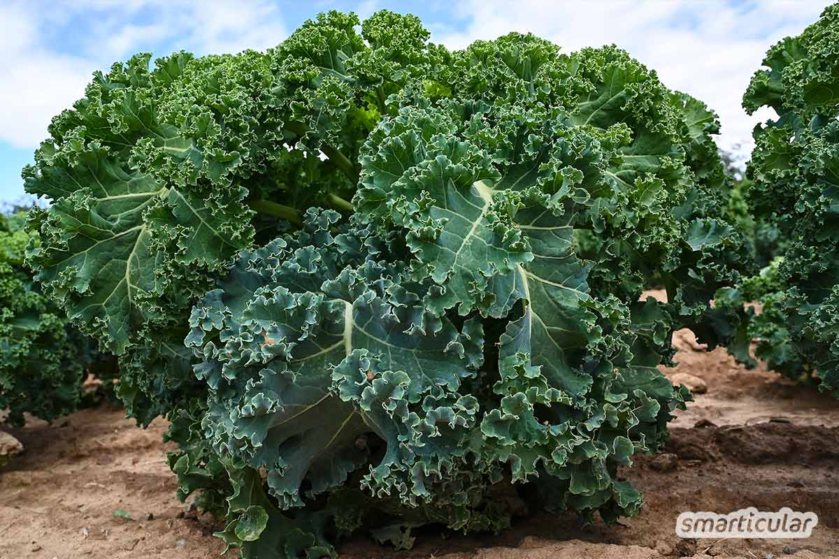 Auch im Winter ist eine ertragreiche Ernte mit aromatischem Gemüse möglich. Noch im vorangeschrittenen Sommer und Herbst Gemüse zu pflanzen, lohnt sich!