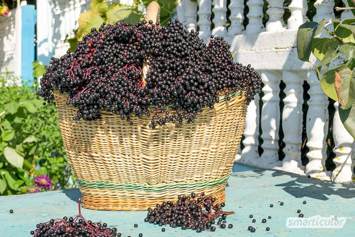 Der Gartenkalender September gibt Tipps, welche Arbeiten anstehen. Gründüngung und Nachkultur werden ausgebracht, Quitten und Holunderbeeren geerntet.