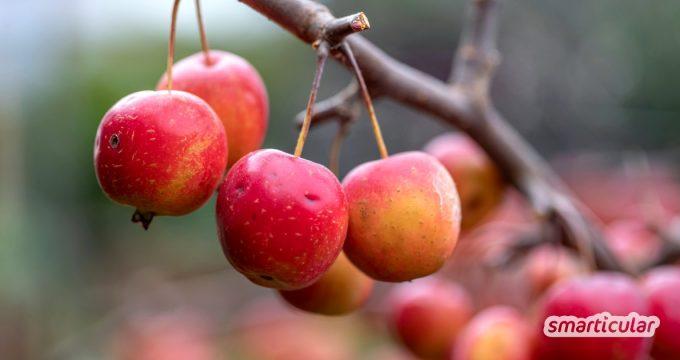 Wild- und Zieräpfel sind tatsächlich essbar. Für einige Rezepte eignen sie sich sogar besser als kultivierte Früchte. Das alles kannst du daraus machen!