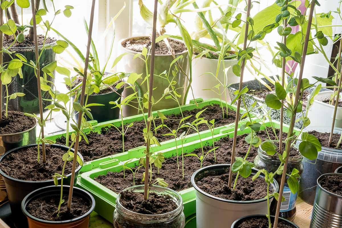 Der Gartenkalender Januar gibt Tipps, welche Arbeiten anstehen. Jetzt können Grünkohl und Rosenkohl geerntet und Kaltkeimer gesät werden.