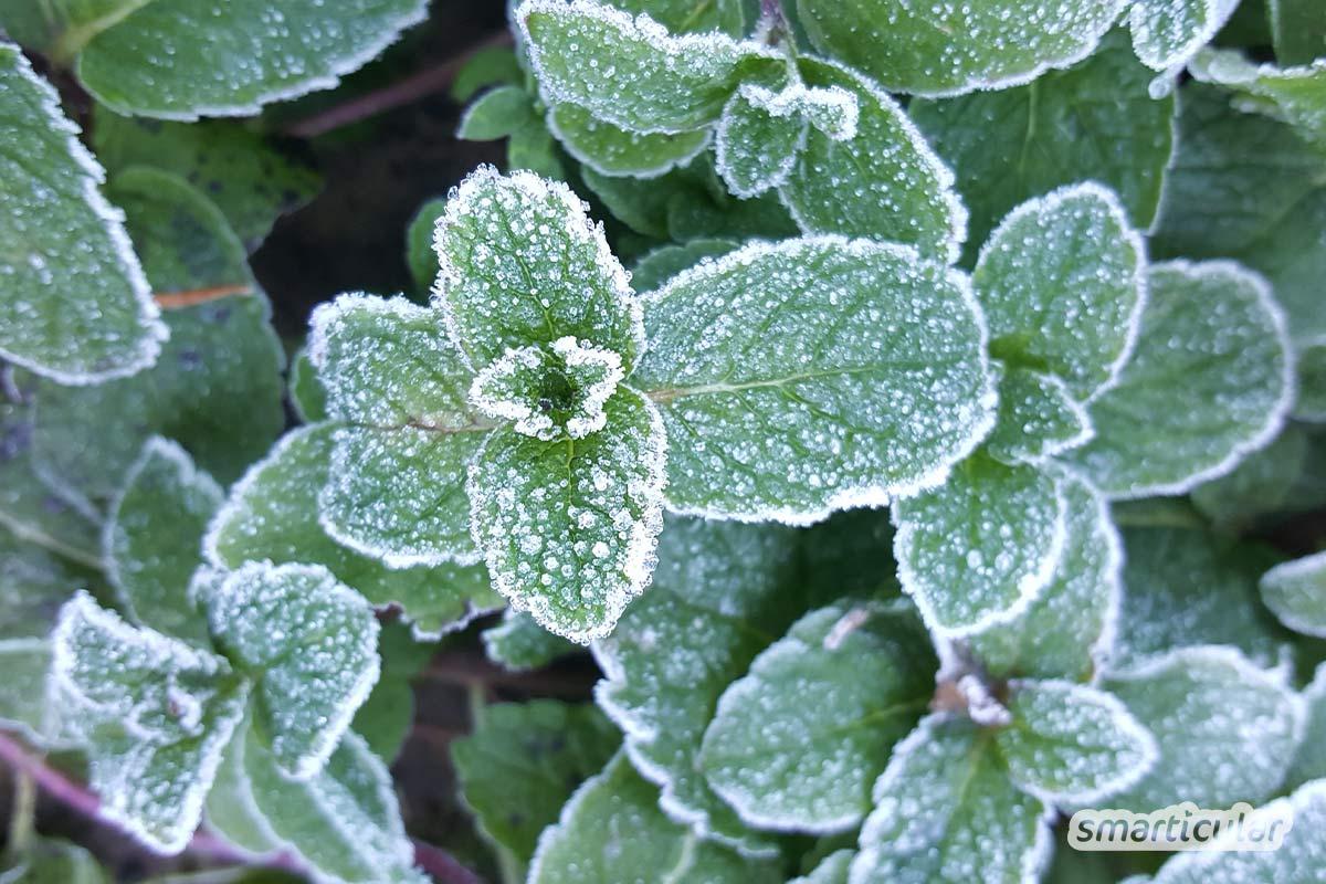 Diese winterharten Kräuter verleihen Gerichten auch in der kalten Jahreszeit besonders intensive Aromen und versorgen dich mit wichtigen Vitalstoffen.