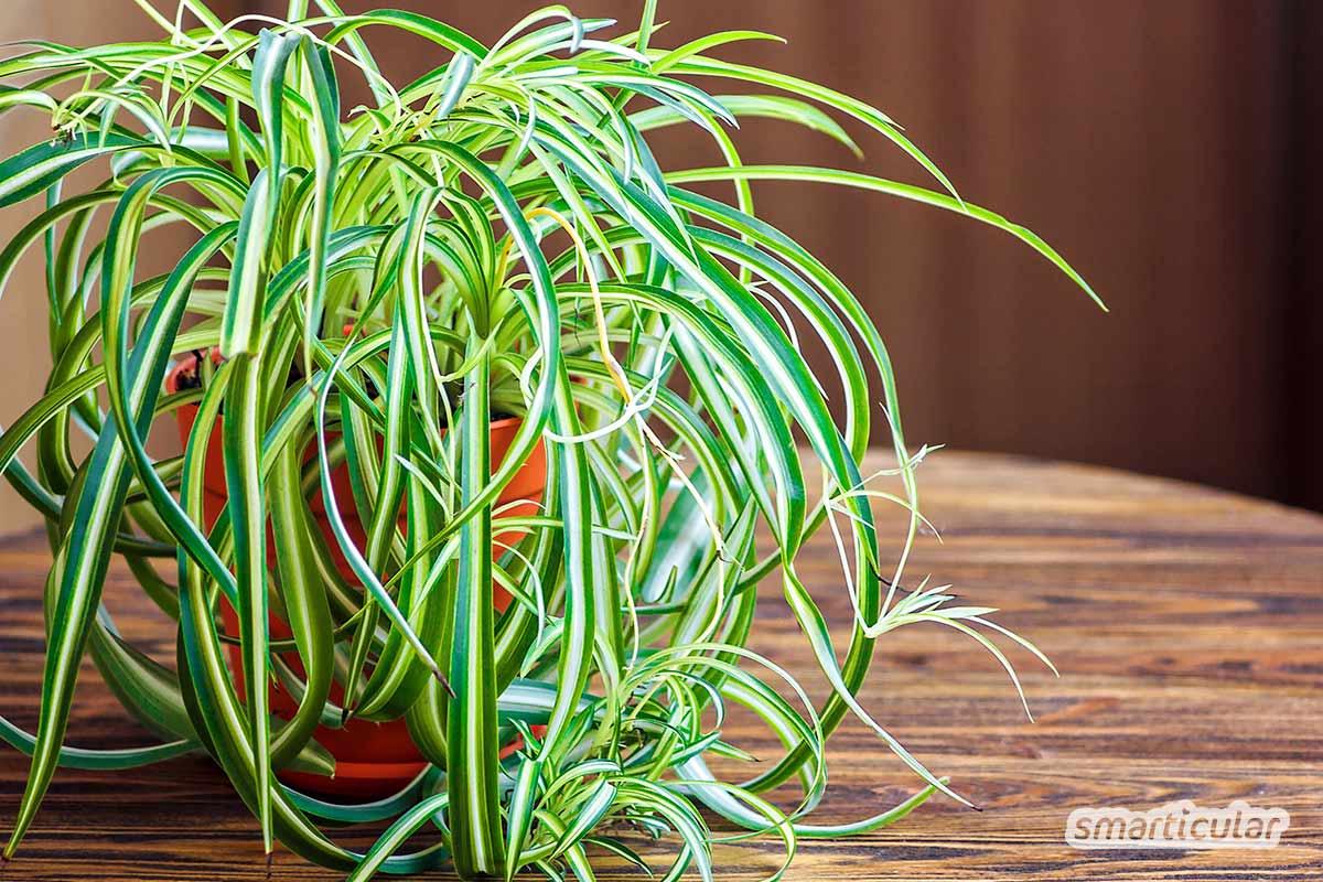 Mit Zimmerpflanzen, die wenig Licht brauchen, lassen sich auch dunkle Ecken in grüne Oasen verwandeln. Hier findest du pflegeleichte Pflanzen für dunkle Räume.