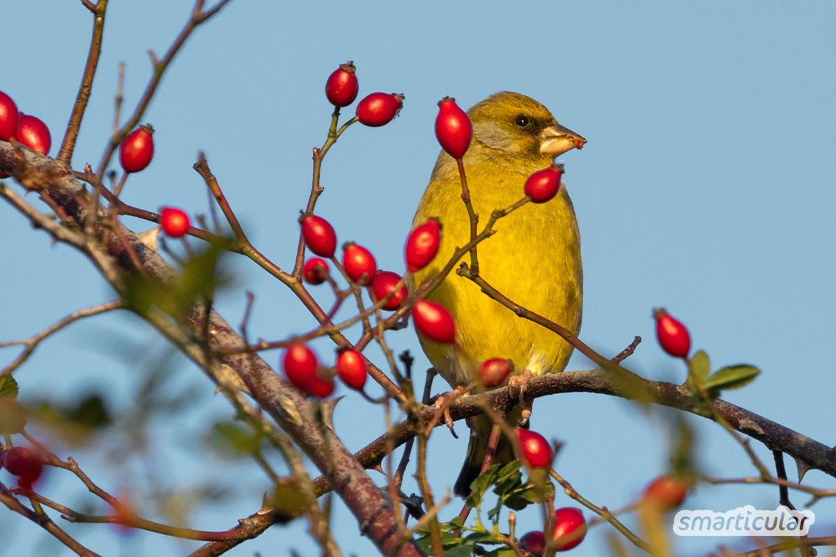 Vogelfreundliche Hecken versorgen zahlreiche Arten mit Nahrung und Lebensräumen. Hier findest du Sträucher, die Vögeln helfen und im Garten nicht fehlen sollten.