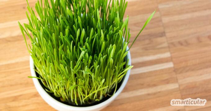 Katzengras lässt sich mit den passenden Samen ganz einfach selber anpflanzen - immer wieder neu und deshalb günstig und plastikfrei.