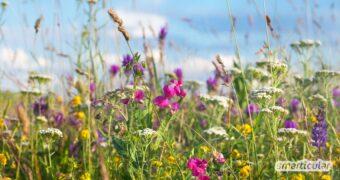 Wildblumen sind in Gärten immer seltener anzutreffen. Dabei haben sie gegenüber Züchtungen und importierten Exoten zahlreiche Vorteile für das Ökosystem.