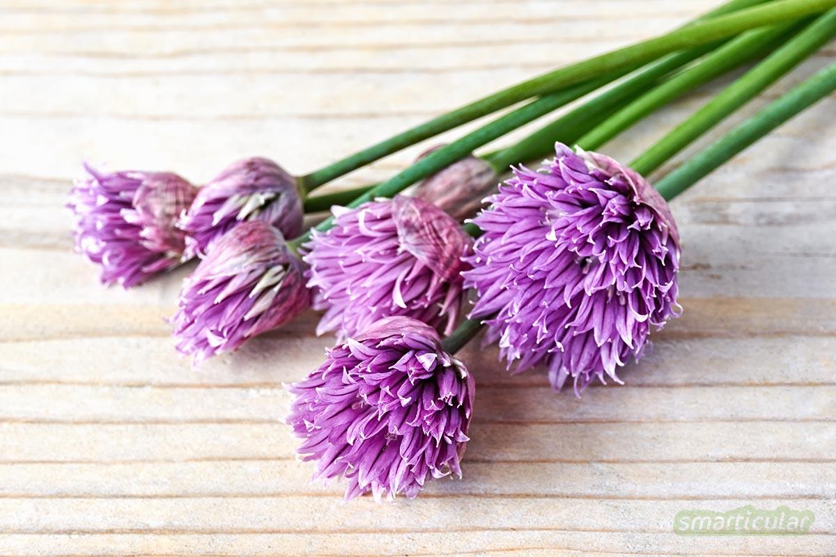 Schnittlauch sorgt als schmackhaftes Küchenkraut für gesunde Vitalstoffe auf dem Teller, aber auch für einen schönen Anblick im Garten und auf dem Balkon.
