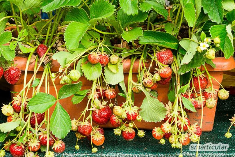 Erdbeeren auf dem Balkon machen sich gleich doppelt nützlich mit schönen, bienenfreundlichen Blüten und süßen Beeren zum Naschen.