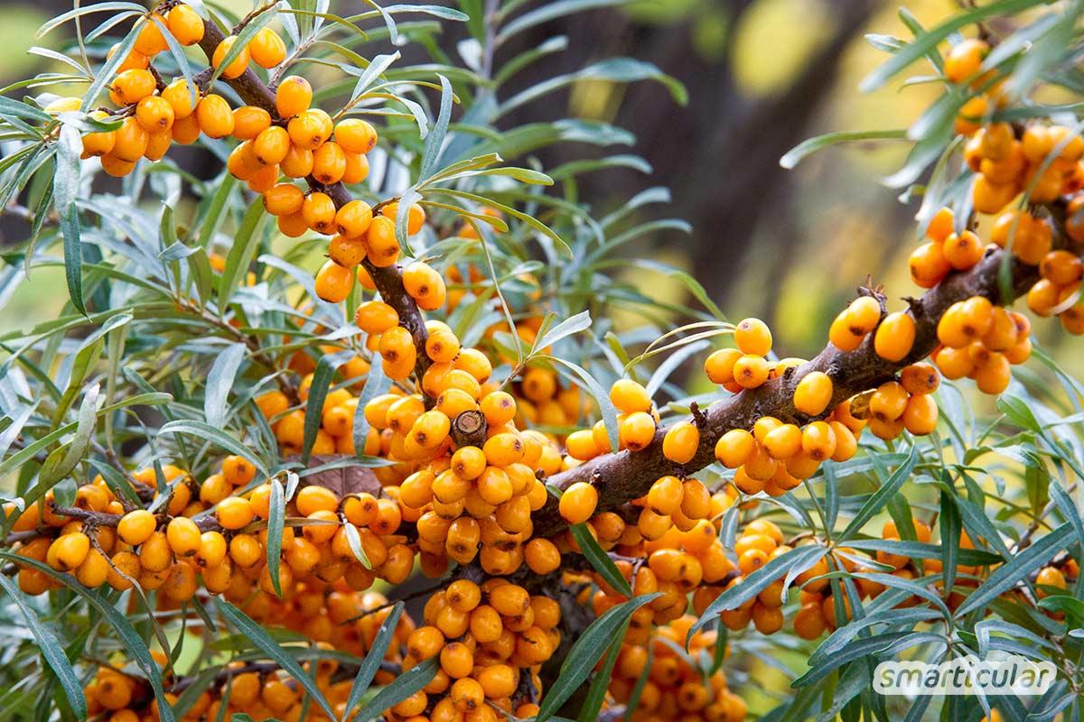 Wildobst wie etwa Himbeeren, Schlehen oder Sanddorn lässt sich kostenlos in der Natur ernten und macht Supermarkt-Obst im Sommer und Herbst fast überflüssig.