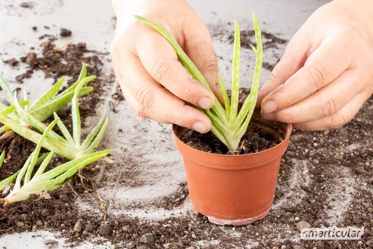 Statt sie zu kaufen, lassen sich viele Zimmerpflanzen ganz einfach selbst vermehren. Hier findest du die wichtigsten Methoden und Beispiele für beliebte Sorten.